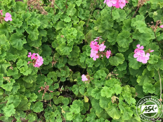 Many people falsely believe Geraniums repel snakes